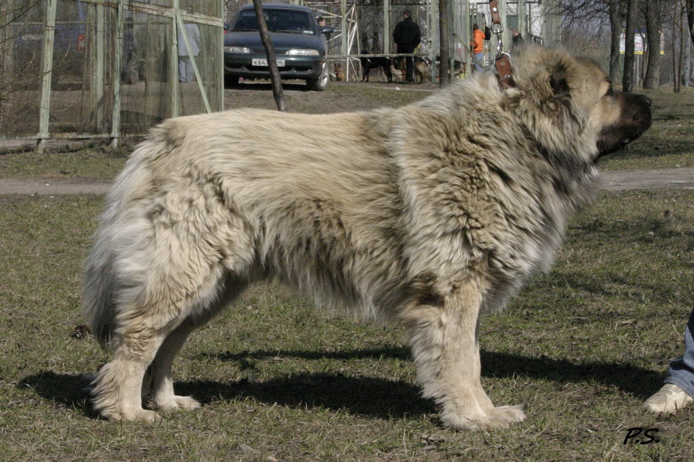 Кавказская овчарка.  Продажа щенков кавказской овчарки.